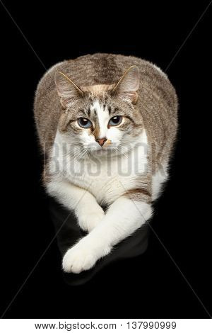 Fat White Cat with Huge Blue eyes, paws in front of him, Lying and Curious Looking in Camera, Isolated Black Background, Top view