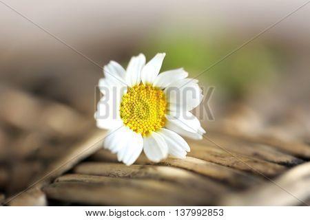 Single chamomile on wicker mat, closeup