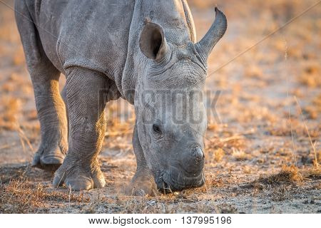 A Baby White Rhino Sniffing The Dirt.