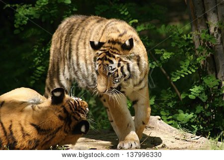 Two amur ( siberian ) tigers playing together