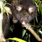 picture of possum  - A common brushtail possum in a tree at night - JPG