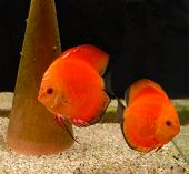 image of diskus  - two discus fish in a tropical tank  - JPG