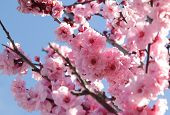 pic of cherry-blossom  - Pink flowers on blooming tree over blue sky - JPG