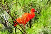 picture of scarlet ibis  - Red Ibis Hiding in The Dense Branches of The Jungle - JPG