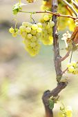 picture of grape-vine  - yellow grapes in the vineyard in summer time - JPG