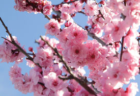 image of cherry blossoms  - Pink flowers on blooming tree over blue sky - JPG