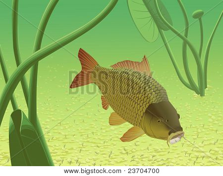 Yellow River Carp