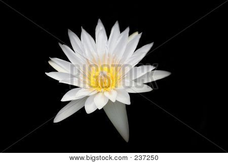 White Water Lily On Black