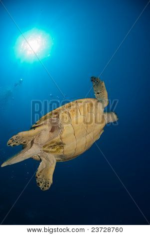 Underview Of A Sea Turtle