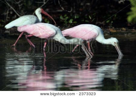 Ibis And Roseate Spoonbills
