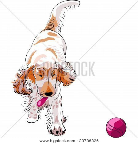 Dog Cockerspaniel Breed Plays With A Red Ball