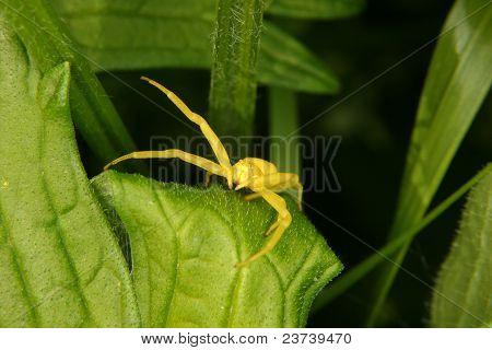 Goldenrod Crab Spider (Misumena vatia)