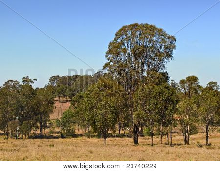 Australian Countryside Gum Trees And Blue Sky