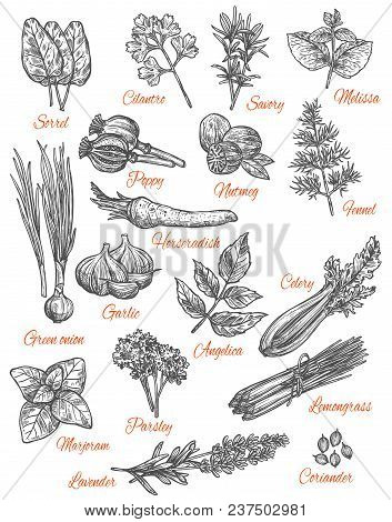 Herbs And Spices Sketch Icons