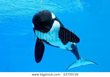 Killer Whale Bubbles