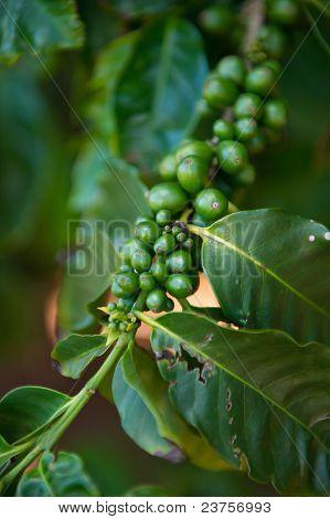 Coffee Plant Detail
