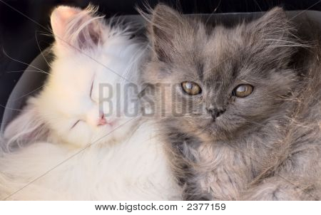 White Cute Adorable Kittens Cats Macro Closeup
