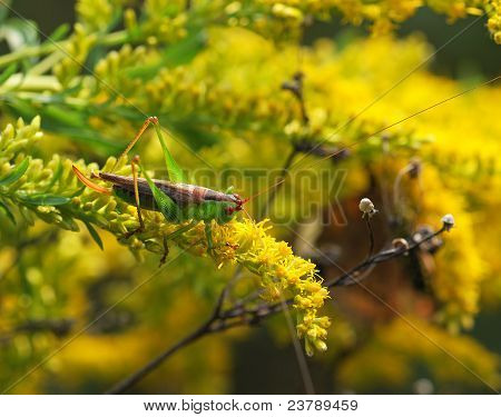Fall Katydid on Goldenrod