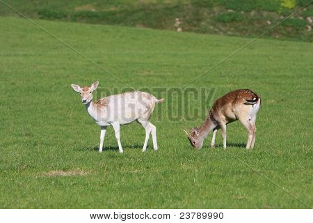 two deer on natural background.