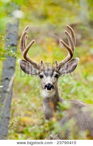 Portrait of mule deer buck with velvet antler