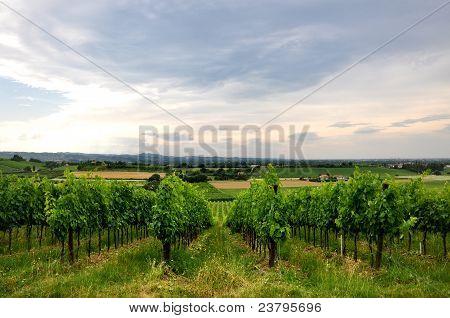 vineyards and fields in Bertinoro