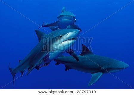 Shark Triplane