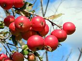 Apples On The Apple Tree Branch