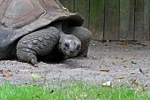 picture of russian tortoise  - The slow moving tortoise noving along in the sand