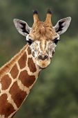 picture of close-up  - close up of a giraffe head staring at camera - JPG