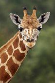stock photo of close-up  - close up of a giraffe head staring at camera - JPG