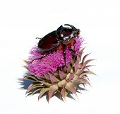 stock photo of oryctes  - Rhinoceros beetle on violet flower isolated on the white