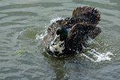 Mixed Breed Swedish Duck Drake Bathing And Splashing In Lake poster