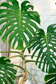 Exotic Tropical Monstera Palm Leaves, Copy Space. Green Leaves Of Monstera Palm Or Split-leaf Philod poster