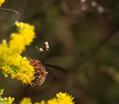 pic of goldenrod  - A reddish paper wasp  - JPG