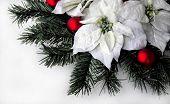 White Xmas Poinsettia