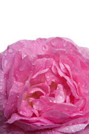 picture of pink rose  - Closeup pink rose with water drops isolated over white - JPG