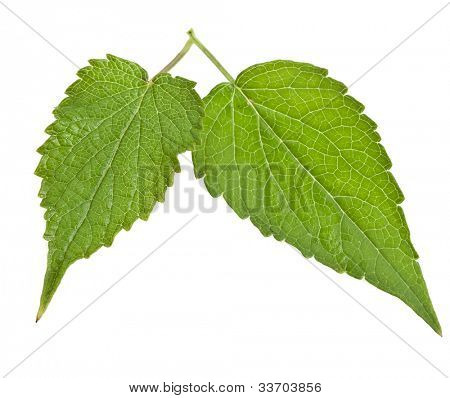 fresh peppermint leaves  Isolated