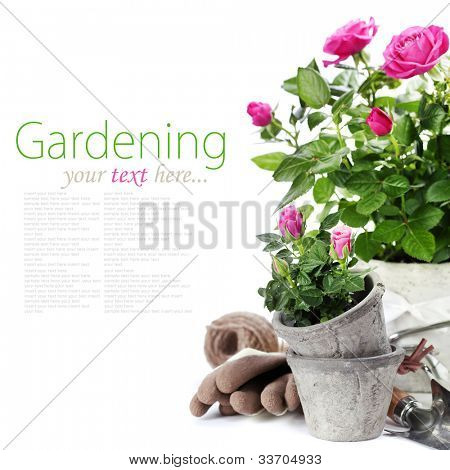 Beautiful pink roses in a flowerpots and garden tools  isolated on white (with easy removable text)