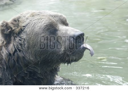 Bear Sticking His Tongue Out