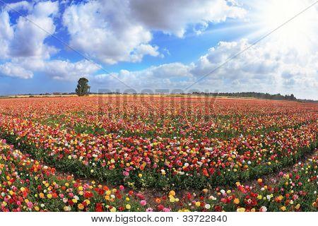grenzenlose Kibbuz Feld mit Blumen gesät. der herrliche Garten Buttercups in israel
