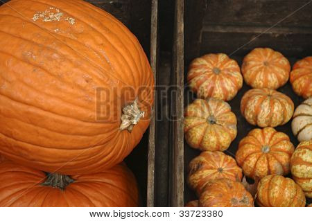 big pumpkin little pumpkins