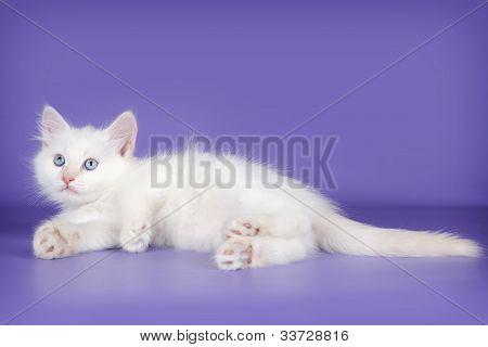 White Cat On Purple Background