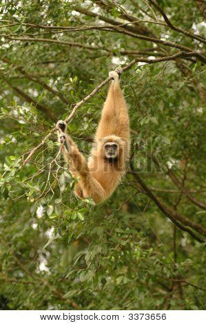 Whitehanded Gibbon