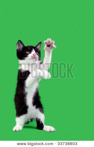 Upright Domestic Cat Catching Isolated on Green Background