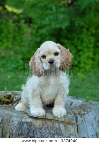 American Cocker Spaniel Puppy On Stump