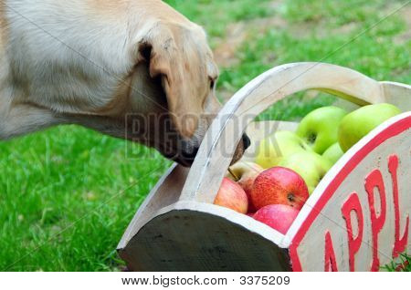 Apples And Puppy Dog