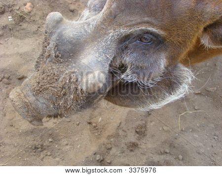 Brush An Ear Pig Potamochoerus Porcus