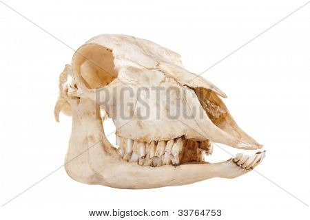 ?utout skull of domestic horse on a white background (Equus caballus)