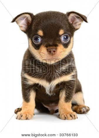 toy terrier puppy the age of 1 month isolated on  white