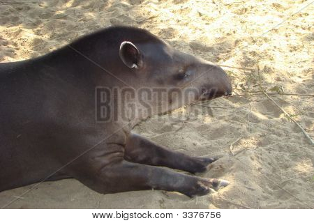 Flat Tapir Tapirus Terrestris On Rest
